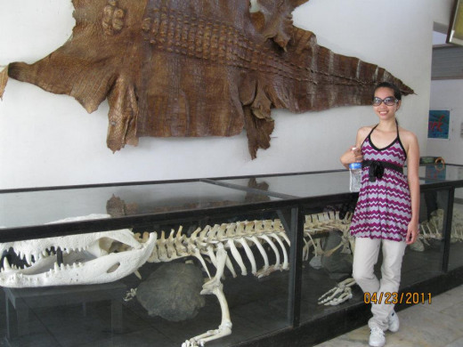 At The Museum: The preserved bones of the largest and oldest crocodile