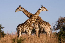 Interesting Facts About The Giraffe