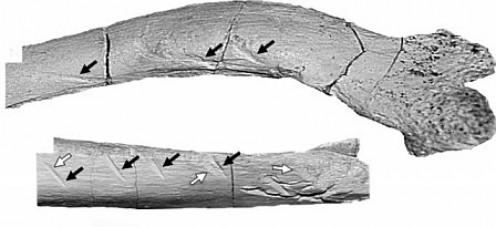 Majungasaurus bite marks.