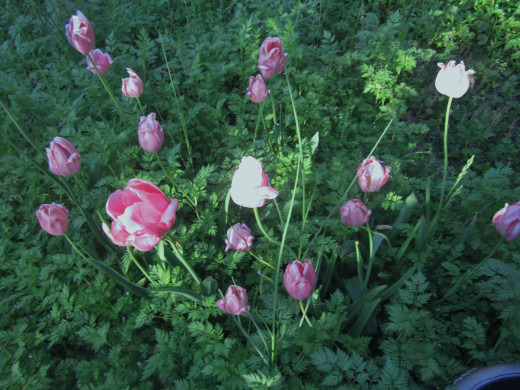 Fading pink tulips