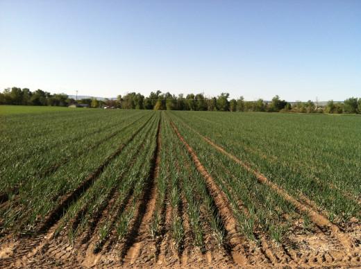 A Field of Walla Walla Sweet Onions