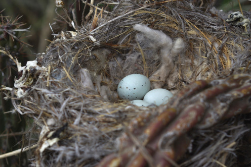 Light blue speckled eggs of House Finch in a nest (See capsule 'Eggs.')