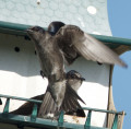 The Purple Martin, The Largest Swallow