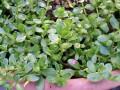 Papait Plant (Bacopa Monniere)
