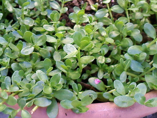 Papait plants in a pot. (Bacopa monnieri)