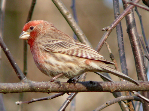 Male H. Finch perched in the branches of an apple tree. (See capsule 'Colors and patterns.')