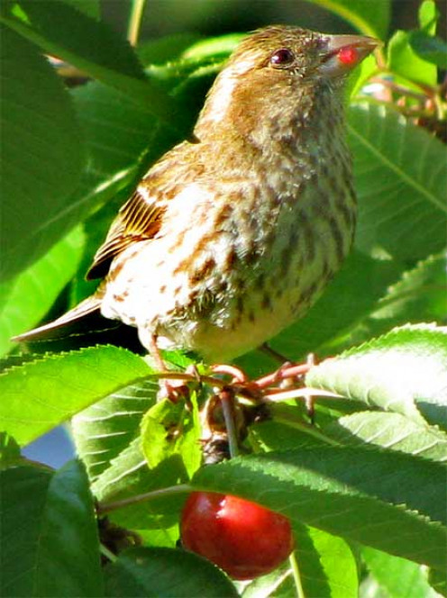 A female finch with a cherry in her mouth. (See 'Capsule colors and patterns.')