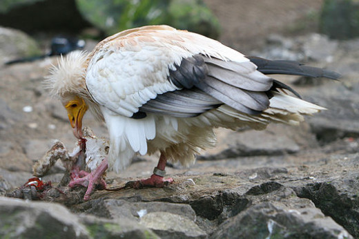 Egyptian vulture eating