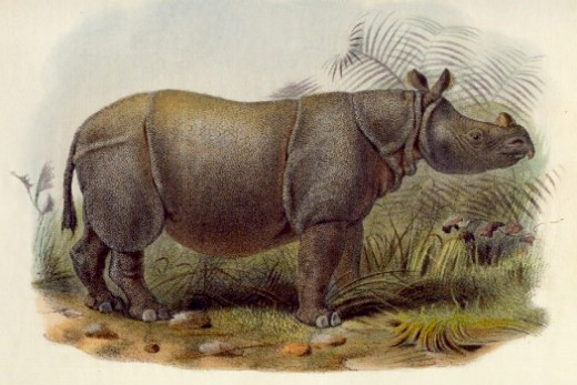 Female Indian Javan rhino imported by the animal dealer Jamarch from the Sunderbuns in India. It was in London in 1877 where it lived less than 6 months.