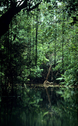 River in the tropical rainforest of the Ujung Kulon National Park. Java, Indonesia