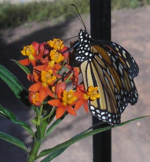 Monarch feeding on Milkweed flowers