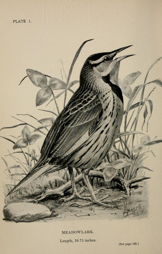 Illustration by Louis Agassiz Fuertes