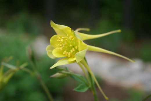 Aquilegia or columbine flower