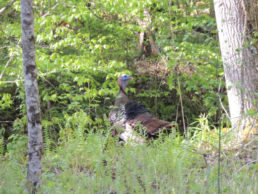 Turkey that we saw in Cades Cove