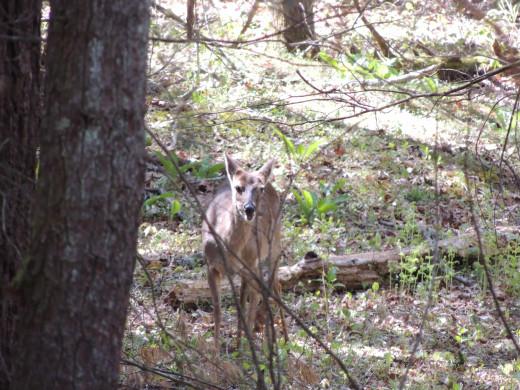 Deer in Cades Cove