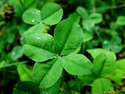 General Characteristics of Clover