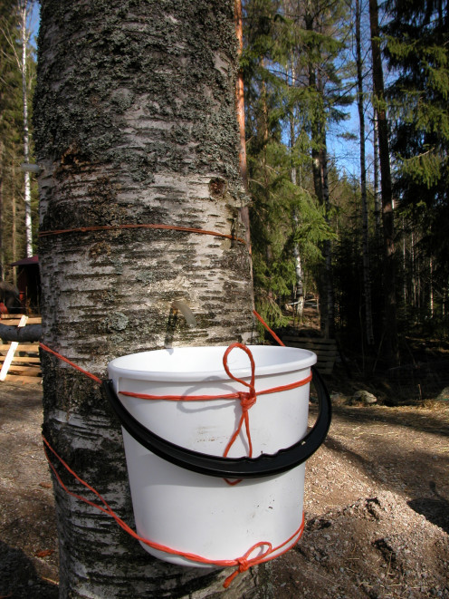 Collecting Birch Sap