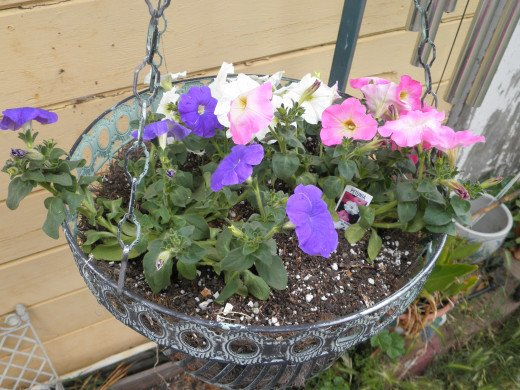 The Dollar Store petunias I planted high up from the dogs.