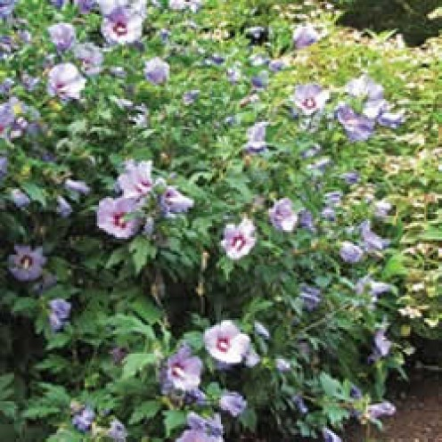 Rose of Sharon Bush