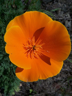 Container Gardens-The California Poppy