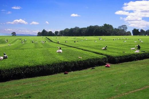 Tea Plantations of Kericho, Kenya.