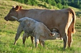 Calf suckling milk from its mother