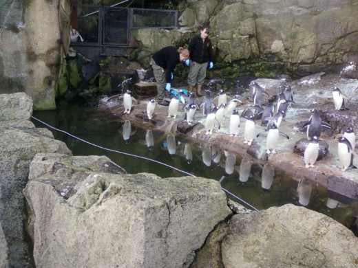 Penguin feeding at Edinburgh Zoo