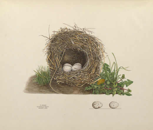 The illustration represents the nest and four eggs taken in April 1882. It is a good specimen of the domed variety