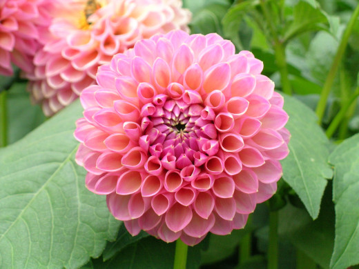 Wootton Cupid - Ball Dahlia