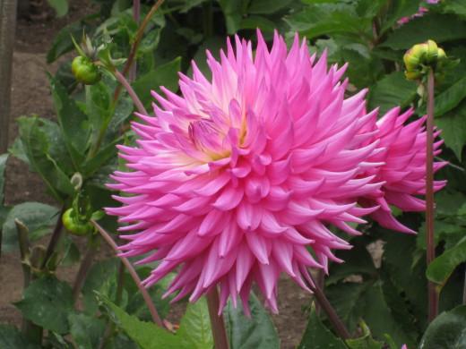 Pink Jupiter - Semi-cactus Dahlia