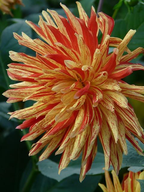 Cactus Dahlia