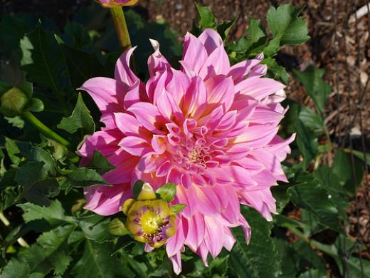 Kidd's Climax - Decorative Dahlia