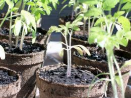 Well Established Tomato Seedlings