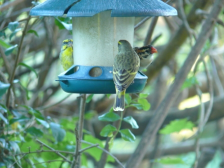 Yellow-fronted Canary, Spotted-back Weaver and Pin-tailed Whydah