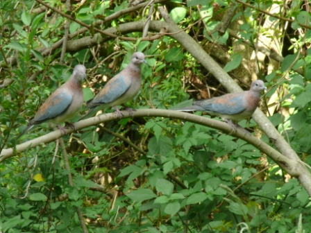 Young Doves waiting their turn at feeder