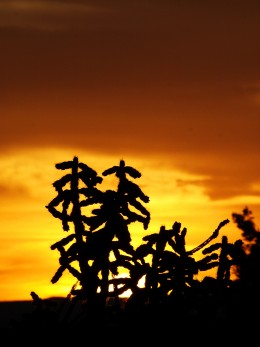 Sunset and Cholla