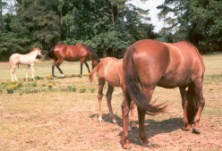 The Henneke Body Condition Scoring System: Judging if Your Horse is to Fat or Thin