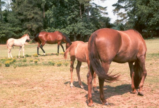 These mares are at a good weight to provide milk for their foals.