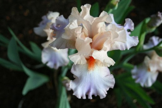 "Iris ""Cherub's Smile"" growing in my garden"