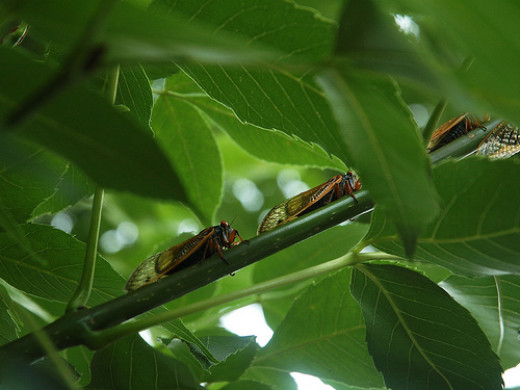 Female cicadas use a sharp spike on their underbellies to cut a safe place in tree branches to lay eggs.
