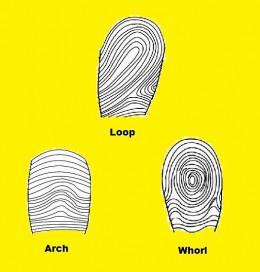 Fingerprint Patterns - Buzzle