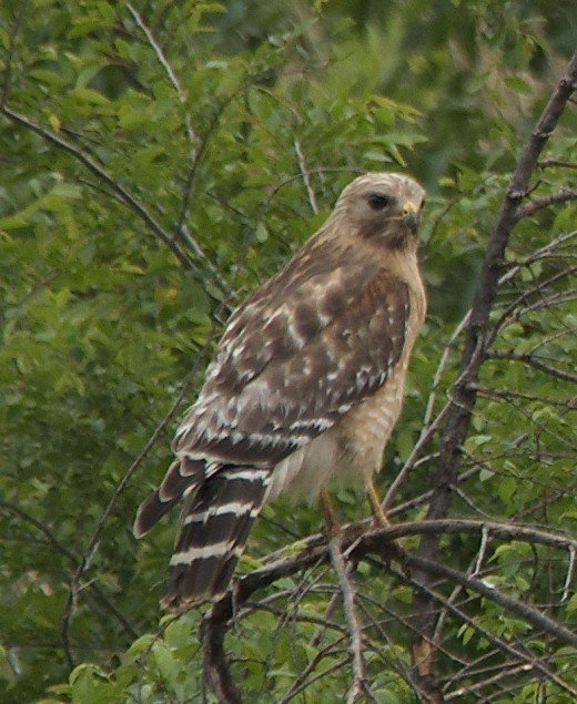 Red-shouldered Hawk minding his own business