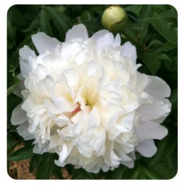 Fragrant peonies can waken memories.