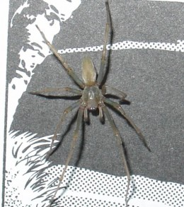 The sac spider is one species of only a few that have cytotoxic venom.