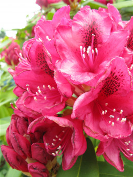 A deep pink rhododendron
