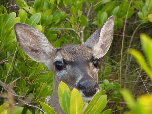 A Key Deer, found in the national refuge and on other Keys.