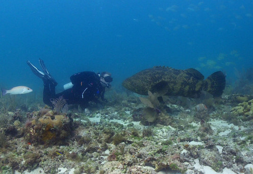 National Park Service diver Paul O'Dell and  Atlantic Goliath Grouper (Jewfish) at Dry Tortugas National Park.The name of the fish has changed to eliminate anti-semitic connotations.