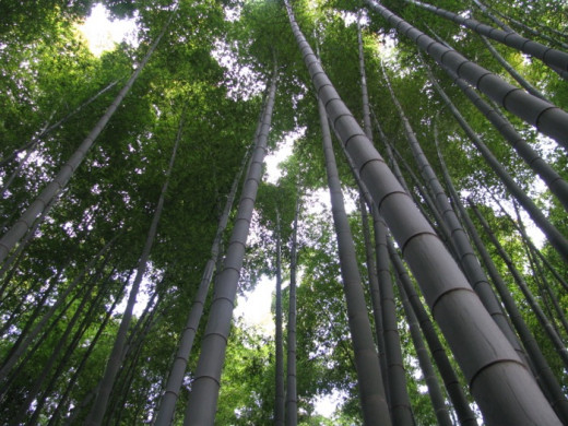 The 'moso' variety of bamboo provides the raw material for the most highly sustainable organic clothing available.