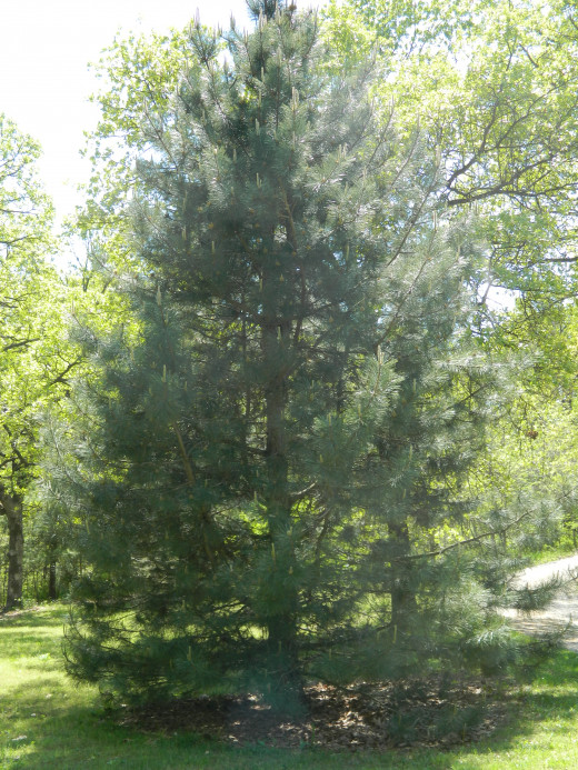 Our Welcome Home Pine stands beside the driveway as we come down the hill to arrive home