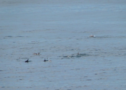 A long line of Dolphins passing by